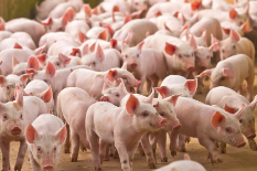 pigs%20233%20x%20155.png