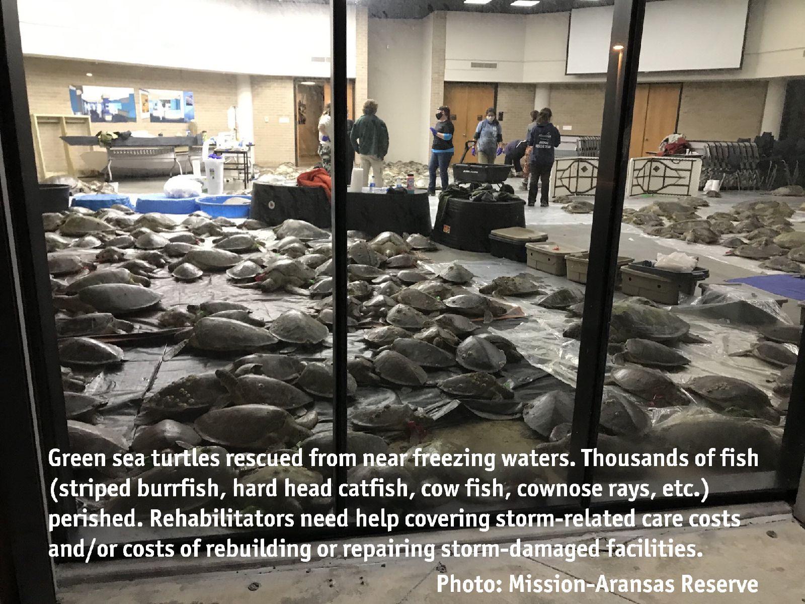 green sea turtles on floor of makeshift intake area