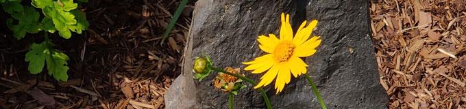 bud, blossom, fruit of yellow flower against stone