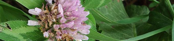 clover blossom in closeup