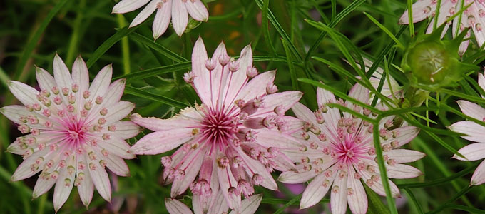 Flowers from the Rudolf Steiner House garden, Oct 2020