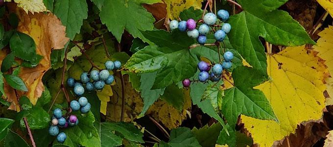 Berries on a vine