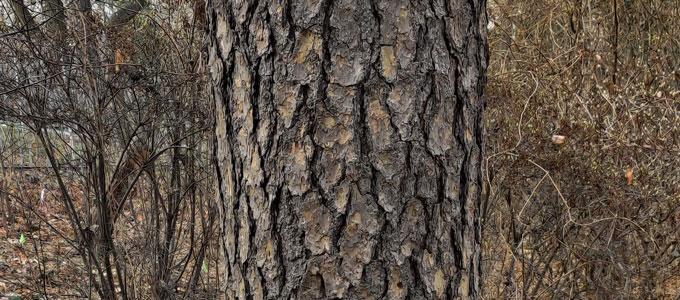pine bark and leafless bushes