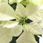 Live Poinsettias - White Star