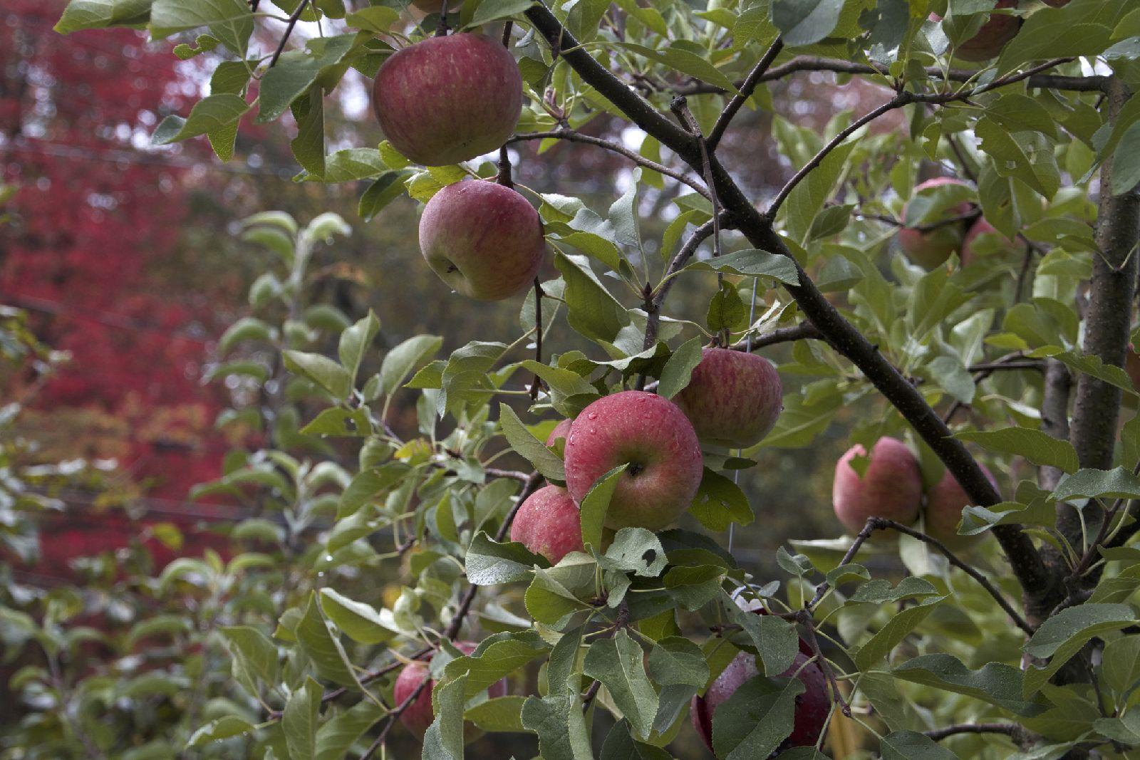 Apples_on_tree_10_14.jpg