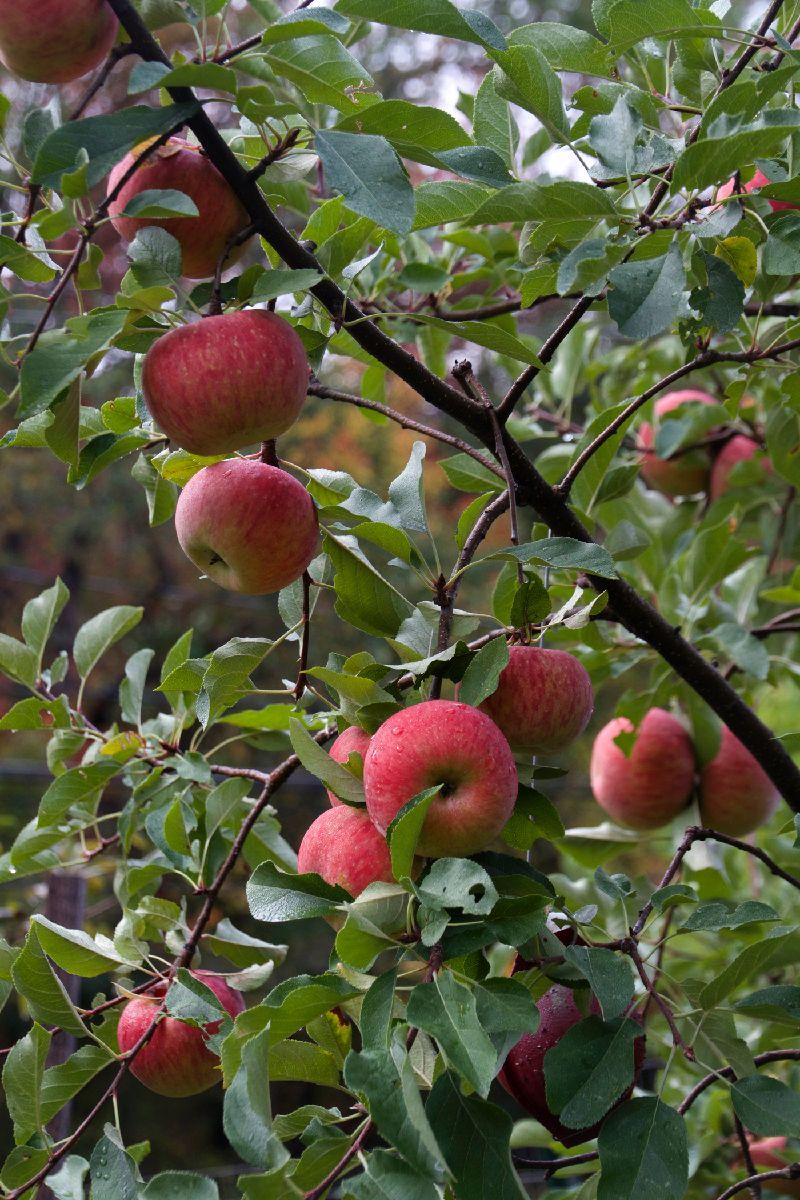Apples_on_tree_1_10_14.jpg
