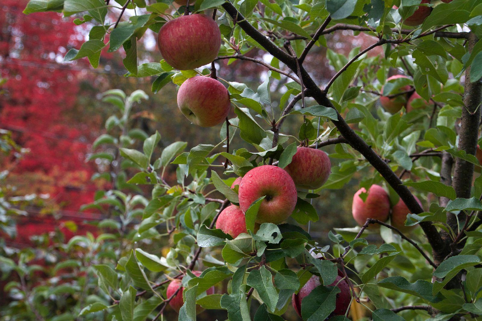 Apples_on_tree_2_10_14.jpg