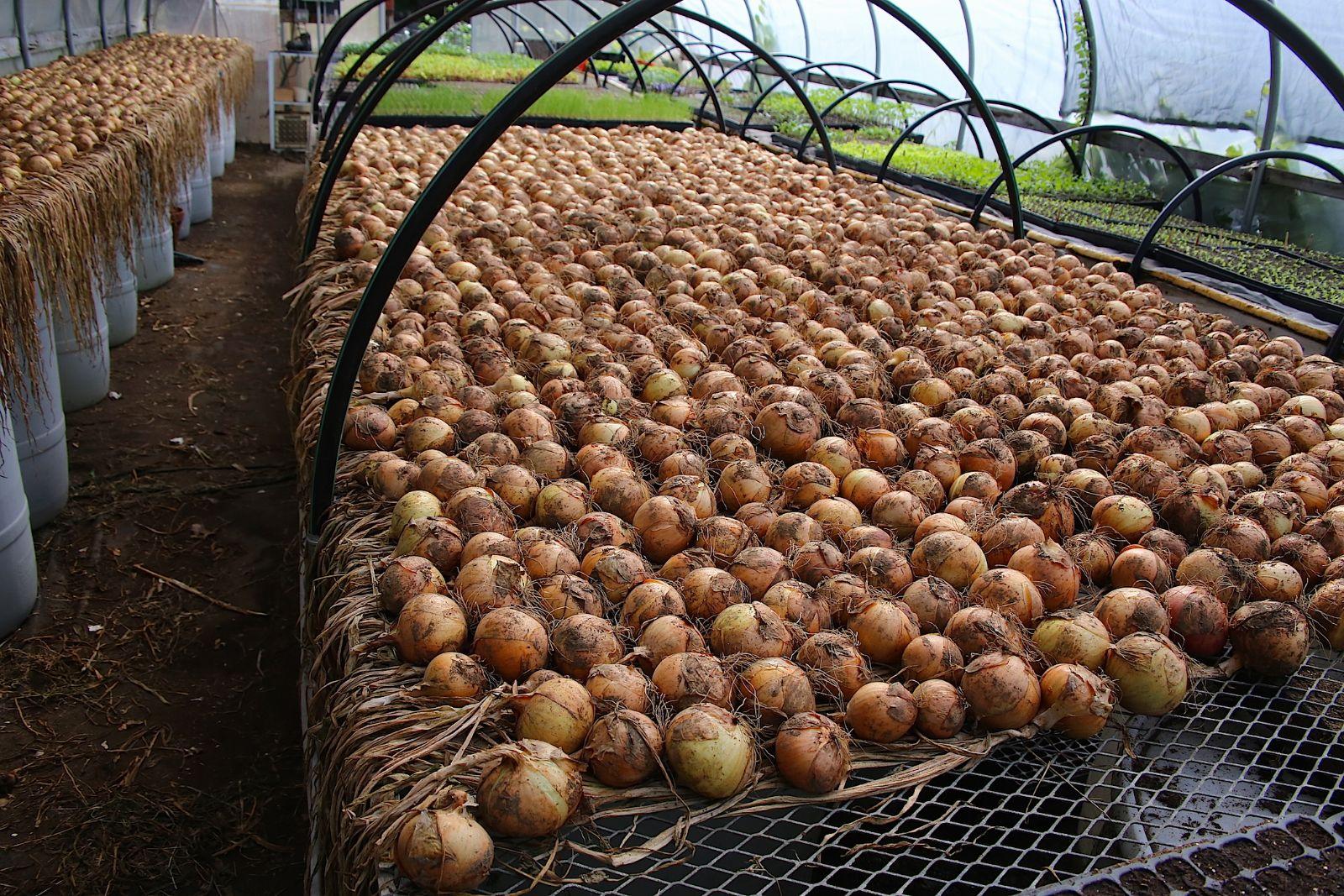 Onions_in_hoop_house_8_15.JPG
