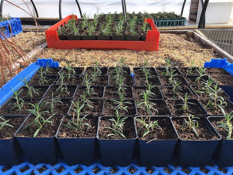 Seedlings_in_greenhouse_4_17.jpg