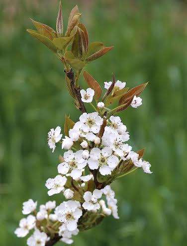 White_blossoms_4_16.jpg