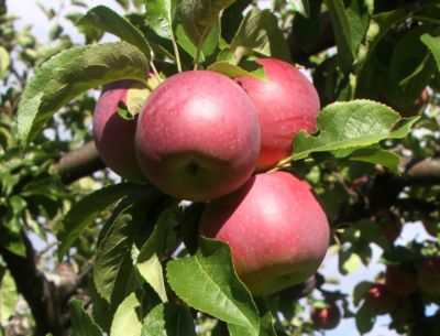 apples_on_tree_4_11.jpg