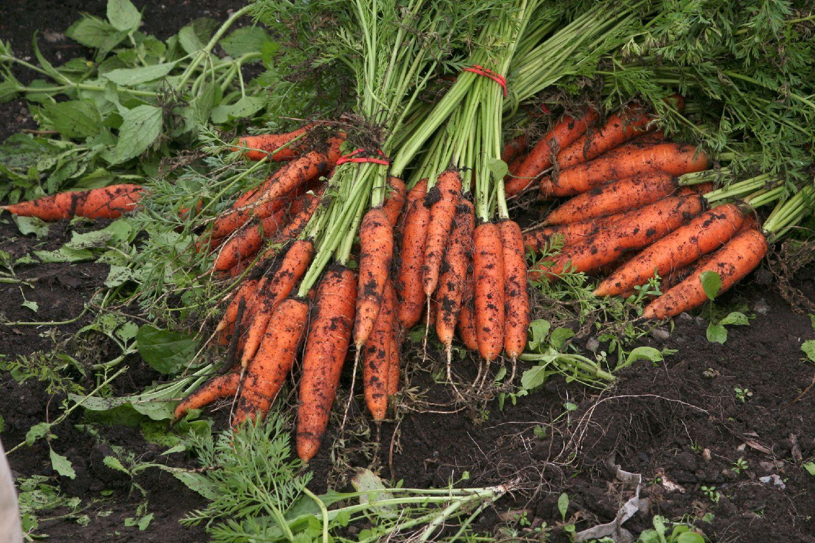 carrots_11_10.jpg