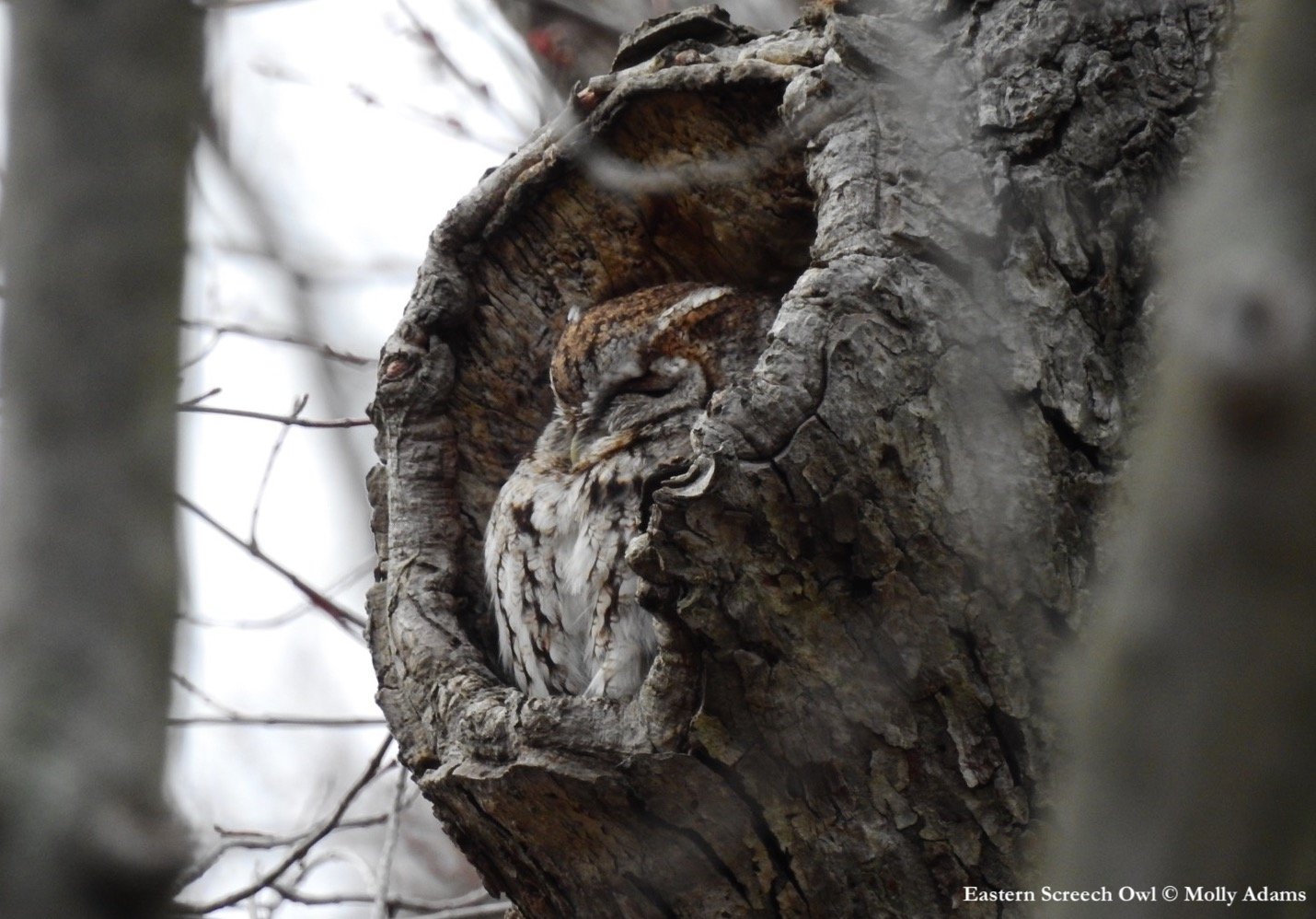 Photograph of an Eastern Screech Owl with its eyes closed in nest cavity
