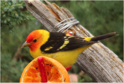 Western Tanager stopping in White Rock during migration (photo by Mrs. Magelssen).