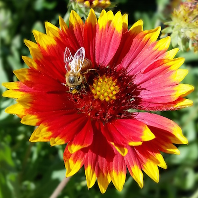New Mexico's Bees: Abundant, Beautiful, and Overlooked @ Los Alamos Nature Center