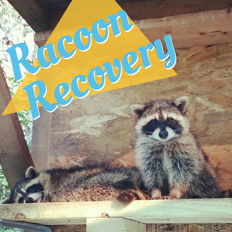 Raccoon Recovery - Yep, they deserve a chance too